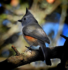 tufted titmouse backyard tree (austindca) Tags: titmouse