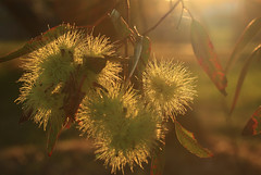 Daydream (alideniese) Tags: eucalyptus eucalyptusflowers flowers nature victoria australia leaves focus closeup sunset sunshine sun evening sundown backlighting light bokeh