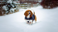 LouBrianWright - Snowman (danielwright88) Tags: basset hound snow dog winter canada loubrian depth field