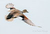 Fly away (cbjphoto) Tags: carljackson male photography sanjoaquin wildlife avian bird drake duck gadwall inflight sanctuary