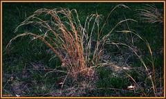 Dry Firework (Irina Kiseleva) Tags: grass plant nature composition sun shadow color green red beige photoborder