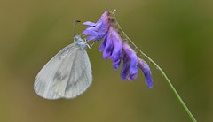 Wood White (Leptidea sinapis). (Bob Eade) Tags: butterflies chiddingfold surrey woodland woodwhite lepidoptera butterfly white tuftedvetch summer macro micro wildlife nature nikond610 bokeh insect