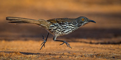 Long-billed Thrasher (Eric Gofreed) Tags: longbilledthrasher riograndvalley texas texas12017 thrasher