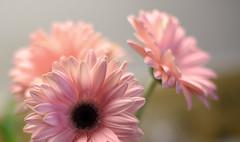 where is Spring already?! (Dotsy McCurly) Tags: flowers gerbera daisy pretty pink nature beautiful bokeh dof nikon d750 closeup smileonsunday fabulousflowers nj