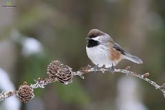 Mésange à tête brune - Boreal chickadee - Poecile hudsonicus (Maxime Legare-Vezina) Tags: bird oiseau nature wild wildlife animal fauna ornithology biodiversity canon winter hiver forest