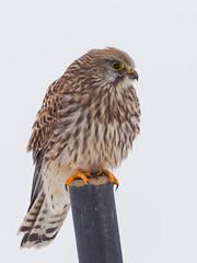 Turmfalke (falco tinnunculus) (Franz Xaver Fischer) Tags: bird vogel falke wildlife