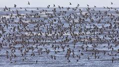 Dunlin (lyndaha) Tags: waders birds hoylake wildlife nature dunlin