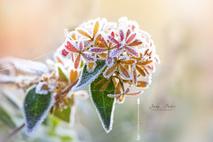 Frosted Abelia x Grandiflora (Jacky Parker Flower Photography) Tags: abeliaxgrandiflora shrub flowers closeup macro flora blooms orange brown horizontalformat landscapeorientation outdoors nopeople frost frosted ice winter frozen freeze flower head fragility freshness delicate beautyinnature floralart domesticgarden sunshine haze melt flowerphotography macrophotography naturephotography nikon uk