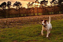 Fast (Eiran Lapham) Tags: dog sunset sky sun jackrussel field run afternoon flower house grass photography hdr nikon nikkor 50mm 18g dogs