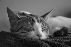 Snooze (stopdead2012) Tags: cat pet animal kitten sleep snooze