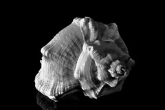 B&W Sea Snail (G. Lang) Tags: bw blackandwhite forêtnoire meeresschnecke blackwhite seasnail snail macromondays monochrome gastéropodesmarins schnecke macro noiretblanc gastéropodes einfarbig branches makro schwarzweis