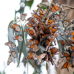 Monarchs (padmarangdrol) Tags: butterfly monarch pacificgrove