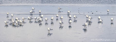 Seagulls ... on ice (Ken Scott) Tags: seagulls ice flock standing panorama leelanau michigan usa 2017 january winter 45thparallel fhdr kenscott kenscottphotography kenscottphotographycom freshwater greatlakes lakemichigan