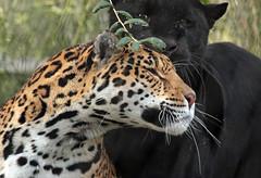 jaguar Mowgli and Rica Artis JN6A3910 (j.a.kok) Tags: jaguar pantheraonca rica mowgli artis predator mammal cat kat zuidamerika southamerica blackjaguar spottedjaguar zoogdier