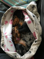 Jetje cocooning sooooo sleepy😴😴😴😴 (arina23111963) Tags: teckel gravhund happyfriday dapple doxie dachshund