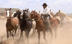Gaucho Horses Roundup Buenos Aries Argentina South America (eriagn) Tags: southamerica argentina buenosaries ranch horse horses galloping dust hooves legs gaucho trotting cantering sunny manes tails animals domestic intelligent farming ngairehart ngairelawson eriagn travel documentary photography man riding saddle leather boots hat apparel tradition traditional livestock pampas horsemanship skill men sheep cattle canon eos camera estanciasantasusana loscardales littlestories picswithsoul exploreunexplored