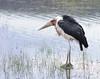IMGP8901b (Micano2008) Tags: pentax kenia africa nakuru lagonakuru parquenacional aves marabuafricano leptoptiloscrumeniferus