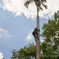 Picking coconuts, Zanzibar, Tanzania (KronaPhoto) Tags: 2016 safari zanzibar tanzania people coconuts picking harvest klatre climb climper palm palme tre tree high young natur nature forest jungle skog food