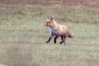 Renard roux (Vulpes vulpes) Red fox 7D Mark II (explored)