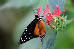 Butterfly (Bri_J) Tags: tropicalbutterflyhouse northanston sheffield southyorkshire uk yorkshire butterflyhouse nikon d7200 butterfly insect macro