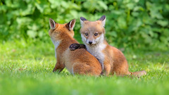 Fox cub (Vulpes vulpes) (Kit Day Photography) Tags: uk red england baby 3 playing canon cub is suffolk spring play mark farm iii young farmland ii bbc 600 fox land 5d cubs mm fighting foxes f4 springwatch vulpes