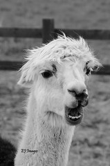 Llama Mono (EJ Images) Tags: uk portrait england slr monochrome animal animals mono blackwhite suffolk nikon wildlife llama oasis dslr eastanglia 2015 nikonslr d90 nikondslr nikond90 llamaportrait 18105mmlens ejimages oasiscamelpark dsc1568c1