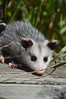 Baby Possums (Sapphire Dream Photography) Tags: possum baby animal babies little wildlife outofplace possums