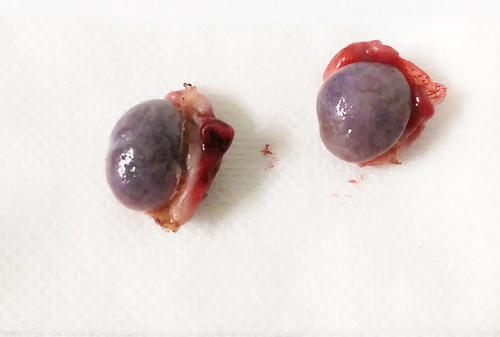 """laparoscopie 5 Kliniek voor dieren Woerden • <a style=""""font-size:0.8em;"""" href=""""http://www.flickr.com/photos/134263078@N08/18951916581/"""" target=""""_blank"""">View on Flickr</a>"""