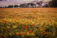Poppy field (Matt Bigwood) Tags: field under gloucestershire edge poppy poppies wotton nikon24mm sonya6000