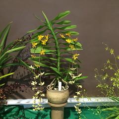 Dimorphorchis (?) rossii (cieneguitan) Tags: flora lan bunga orkid okid angrek anggerek