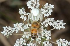 IMG_7104 (Roving_photographer) Tags: france spider crab bee prey predator aquitaine misumena misumenavatia castillonlabataille