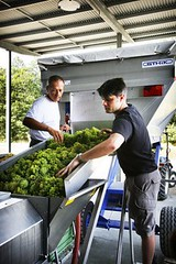 "Vintage Grape Sorting • <a style=""font-size:0.8em;"" href=""http://www.flickr.com/photos/133405556@N08/19890877528/"" target=""_blank"">View on Flickr</a>"