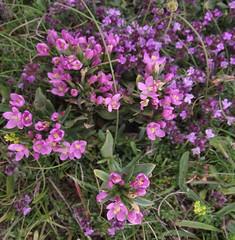 Centaurium littorale (Seaside Centaury), Walney Island, Cumbria, 9.7.15 (respect_all_plants) Tags: cumbria wildflowers walneyisland centauriumlittorale seasidecentaury