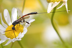 Ichneumon Wasp (Kentish Plumber) Tags: macro wildlife nature nbw insect wasp flower 2015 august ichneumon red black ovipositor countryside sevenoaks kwt southeast europe england kent weald kentwildlifetrust hymenoptera kentishplumber photography photos images