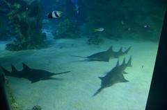 Freshwater Sawfish, Pristis microdon - Sydney Aquarium (avlxyz) Tags: aquarium sydney australia sydneyaquarium fb5
