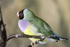 Gouldian Finch (C. P. Ewing) Tags: bird finch gouldian