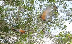Turdus migratorius --  Robins  [Alachua Cnty] 091 (2) (Tangled Bank) Tags: wild nature natural alachua county florida tree spanish moss flower bird turdus migratorius robins cnty 091 2