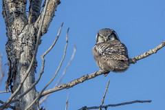Northern Hawk Owl (Peter Stahl Photography) Tags: northernhawkowl hawkowl owl alberta winter cold blueskies outdoors bird