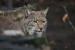 eurasischer Luchs (Noodles Photo) Tags: lynx lynxlynx luchs eurasischerluchs zooduisburg raubtier groskatze carnivora cat säugetier canoneos1dmarkiii