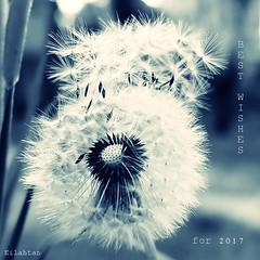 Meilleurs voeux pour 2017 (nathaliedunaigre) Tags: wishes voeux 2017 nature dandelion pissenlit graines bleu blue carré square
