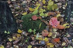 Amanita muscaria nel sottobosco, fly agaric in the undergrowth (paolo.gislimberti) Tags: funghiamanitasottoboscofogliesecche fungi undergrowth deadleaves wood bosco