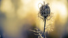 patience is a virtue (imagine_reality) Tags: macro winter sun flower frozen brilliant wow beautiful nature outdoor