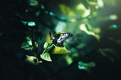 Chloros (anderswotzke) Tags: butterfly nature butterflies green lemon light garden insect sony 70200mmgm