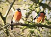 Bullfinches (~ **Barbara ** ~) Tags: wildbirds birds avian feathers trees bushes branches cold sunny winter january uk summerleys winterwatch northamptonshire canon7dii sigma150500