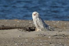 Snowy Owl at Chincoteague Island...6O3A3252A (dklaughman) Tags: chincoteagueislandnwr chincoteague virginia snowyowl owl