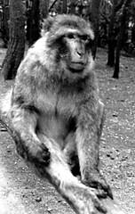 Singe-g (jeanraoulb) Tags: animaux kintzheim singe