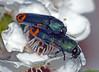 "Jewel-beetles Castiarina ocelligera, two males (Simon Grove (TMAG)) Tags: ""tmag zoology"" ""tasmanian museum art gallery"" ""december 2016"" insecta taroona tasmania coleoptera buprestidae castiarina"