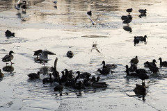 The Moselle is frozen. Me too (Anna Trenning-Himmelsbach) Tags: fulicicaaatra foulquemacroule blesshuhn coot sothöna oiseaux birds fåglar januari janvier january fold river fleuve hiver vinter winter is ice glace cold froid moselle mosel