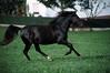 lzs7-3199 (lotharlenz) Tags: galopp hengst griechischertölter aravani zirgs pferd paard konj horse hobu hestur hest häst fotolotharlenz equus cheval cavalo caballo