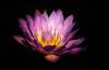 _1212381 (5816OL) Tags: waterlilies flowers dad